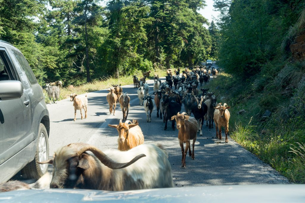 THe driving challenges on Mount Olympus in Greece include goats on the road