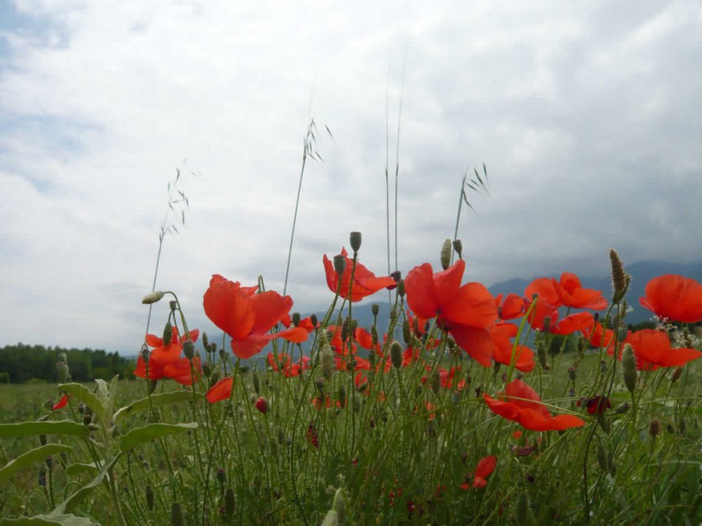 poppies by Mount Olympus