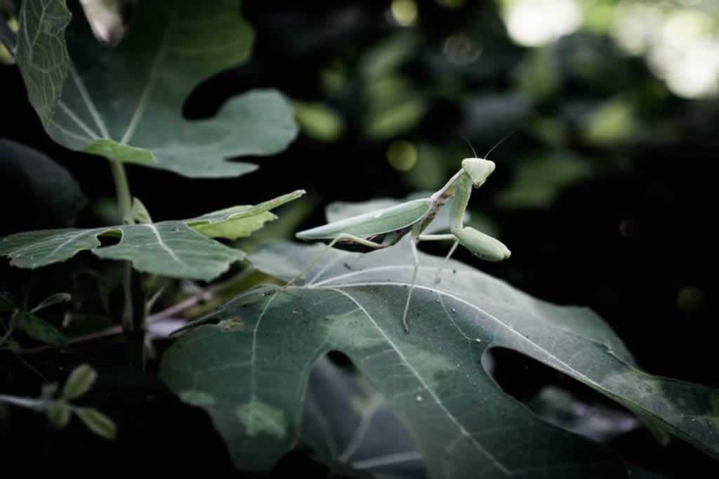 dion insect praying mantis