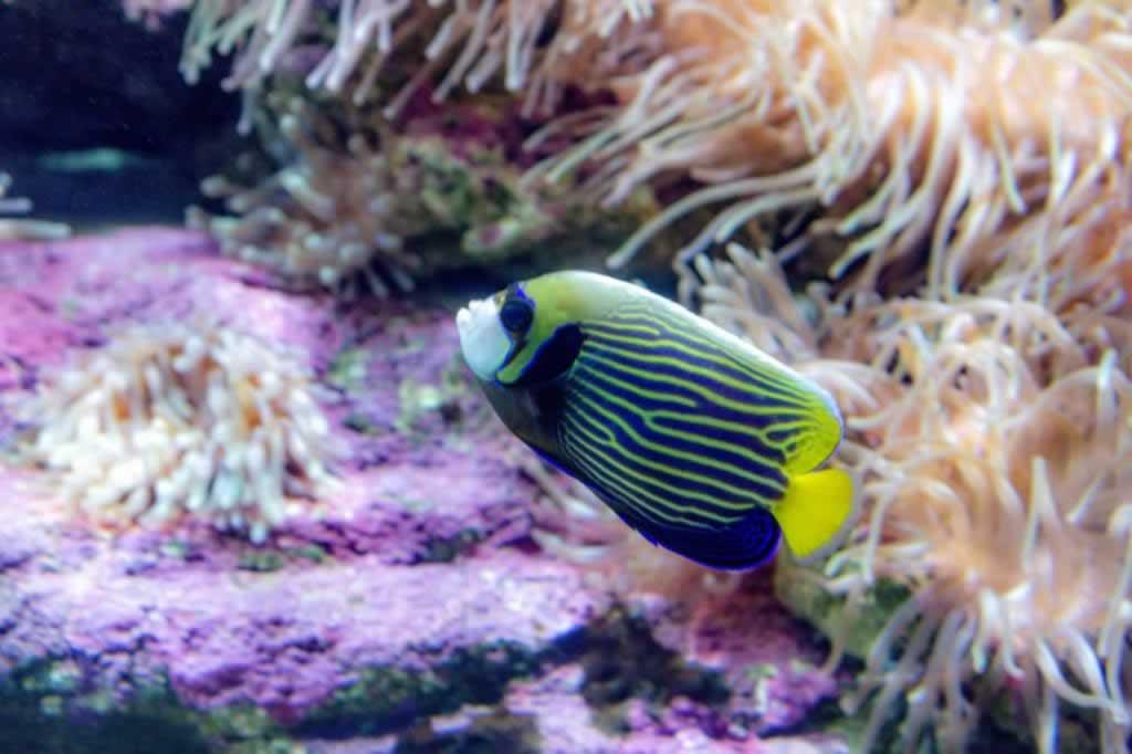 cretaquarium blue yellow stripes fish