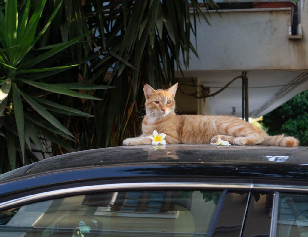 Cat on car with flower